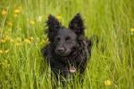 Thumbnail Black mongrel dog on a meadow