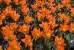 Thumbnail Tulips (Tulipa), Keukenhof, Netherlands, Europe