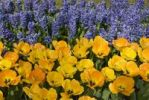Thumbnail Tulips (Tulipa) and Grape Hyacinths (Muscari armeniacum), Keukenhof, Netherlands, Europe