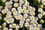 Thumbnail Daisies (Bellis perennis)