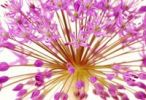 Thumbnail Ornamental chive or Allium flower