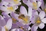 Thumbnail Spring Crocus (Crocus vernus), Bee (Apoidae)