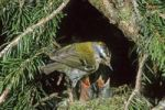 Thumbnail Firecrest (Regulus ignicapillus) with chicks at the nest