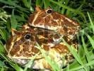 Thumbnail Mating Chacoan horned frog Ceratophrys cranwelli Gran Chaco, Paraguay