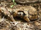 Thumbnail Chaco tortoise Geochelone chilensis at typical habitat thorny bush dry forest, Gran Chaco, Paraguay