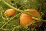 Thumbnail Pumpkins growing in a garden