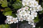 Thumbnail Flowering Midland Hawthorn, Woodland Hawthorn, Mayflower (Crataegus laevigata), medical plant