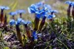 Thumbnail blue Spring Gentian Gentiana verna