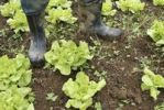 Thumbnail Farmer with rubber boots in a lettuce bed, organic farming, Petropolis, Rio de Janeiro, Brazil, South America