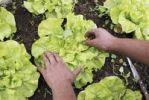 Thumbnail Harvest of lettuce, organic farming, Petropolis, Rio de Janeiro, Brazil, South America