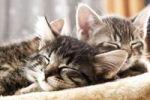 Thumbnail Schlafende Katzenjunge, Katzenbabies, 6 Wochen