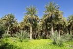 Thumbnail Palm trees and corn field at Tanuf Oasis, Hajar al Gharbi Mountains, Al Dakhliyah region, Sultanate of Oman, Arabia, Middle East
