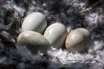 Thumbnail Swan nest with four eggs, nest made of feathers and twigs