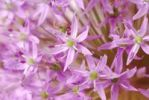 Thumbnail Decorative Allium flower head