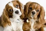 Thumbnail Two Cavalier King Charles Spaniel dogs