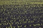 Thumbnail Young Maize (Zea mays) plants shortly after sowing in a field, Bermatingen, Baden-Wuerttemberg, Germany, Europe