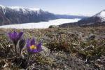 Thumbnail Pulsatilla (Anemone patens), also Northern Crocus, Prairie Crocus, Prairie Smoke, Pasque Flower, ice covered Kusawa Lake and mountains behind, Yukon Territory, Canada, North America