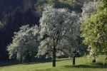 Thumbnail Blossoming pear trees, Neuhofen an der Ybbs, Mostviertel, Lower Austria, Austria, Europe
