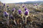 Thumbnail Blooming Pulsatilla (Anemone patens), Northern Crocus, Prairie Crocus, Prairie Smoke, Pasque Flower, back lit, spring, Yukon Territory, Canada, North America