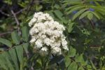 Thumbnail Flowering European Rowan, Mountain Ash, leaves and flowers (Sorbus aucuparia)