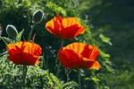 Thumbnail Flowering Red Poppy, Oriental Poppy in evening light (Papaver orientale)