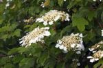 Thumbnail Flowering Snowball Tree, European Cranberrybush, Guelder Rose, Water Elder, Cramp Bark (Viburnum opulus) poisonous plant