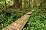 Thumbnail Path made of wooden beams, leading through the rainforest to Sand Point, Olympic National Park, Washington, USA, North America