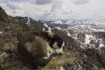 Thumbnail Resting sled dog, curled up, Alaskan Husky, Mt. Lorne, Mountains, Pacific Coast Ranges behind, Yukon Territory, Canada, North America