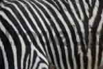 Thumbnail Zebra fur/skin in detail