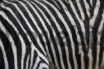 Thumbnail Zebra fur/skin in detail