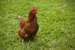 Thumbnail Domestic chicken on a meadow