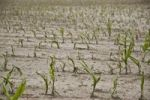 Thumbnail Young Maize (Zea mays) plants on a field with hail damage after a heavy storm, Bermatingen, Baden-Wuerttemberg, Germany, Europe
