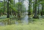 Thumbnail Swamp Cypresses in Horseshoe Lake, Illinois, USA, North America