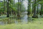 Thumbnail Swamp Cypresses in Horseshoe Lake, Illinois, USA, North America