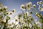 Thumbnail Marguerites with sun and blue sky, backlight