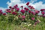 Thumbnail A field with Sweet williams (Dianthus barbatus) and Daisies (Leucanthemum), Hesse, Germany