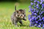 Thumbnail Cat (Felis catus), kitten