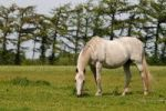 Thumbnail Arabian Horse (Equus ferus caballus)
