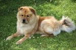 Thumbnail Chow Chow, male dog, resting on the lawn