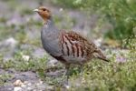 Thumbnail Grey Partridge (Perdix perdix), standing on the side of a field, Burgenland, Austria, Europe