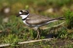 Thumbnail Little Ringed Plover (Charadrius dubius), male standing on a meadow, Burgenland, Austria, Europe