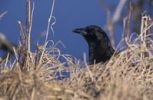 Thumbnail American Crow (Corvus brachyrhynchos), adult, Bosque del Apache National Wildlife Refuge, New Mexico, USA