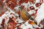 Thumbnail American Robin (Turdus migratorius), male in Black Hawthorn (Crataegus douglasii), fallcolors, snow, Grand Teton National Park, Wyoming, USA