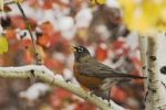 Thumbnail American Robin (Turdus migratorius), male in Aspen tree, fallcolors, snow, Grand Teton National Park, Wyoming, USA