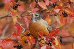 Thumbnail American Robin (Turdus migratorius), male eating berries of Black Hawthorn (Crataegus douglasii), fallcolors, Grand Teton National Park, Wyoming, USA
