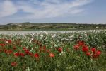 Thumbnail Field of Opium Poppies (Papaver somniferum) with Corn Poppies in the front, Haugsdorf, Weinviertel, Lower Austria, Austria, Europe