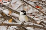 Thumbnail Black-capped Chickadee (Poecile atricapilla), adult, snow, fallcolors, Grand Teton National Park, Wyoming, USA