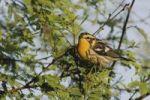 Thumbnail Blackburnian Warbler (Dendroica fusca), female, Port Aransas, Texas, USA
