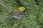 Thumbnail Black-throated Green Warbler (Dendroica virens), male, South Padre Island, South Texas, USA