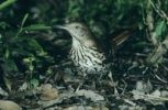 Thumbnail Brown Thrasher (Toxostoma rufum), adult, High Island, Texas, USA